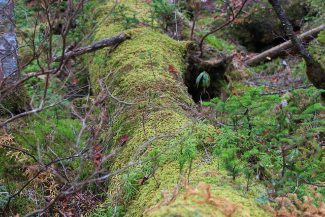 倒木更新 数年~10数年の幼木