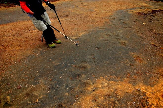 阿寒湖畔コースの登山道にあったヒグマの足跡