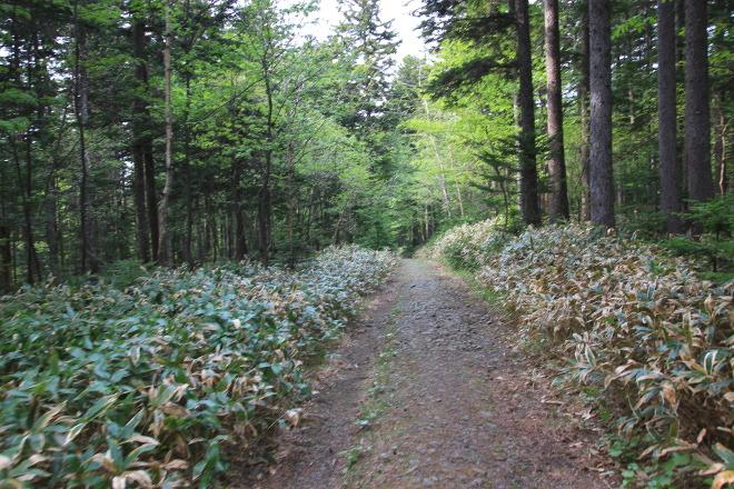 雌阿寒岳 阿寒湖畔コース 樹林帯