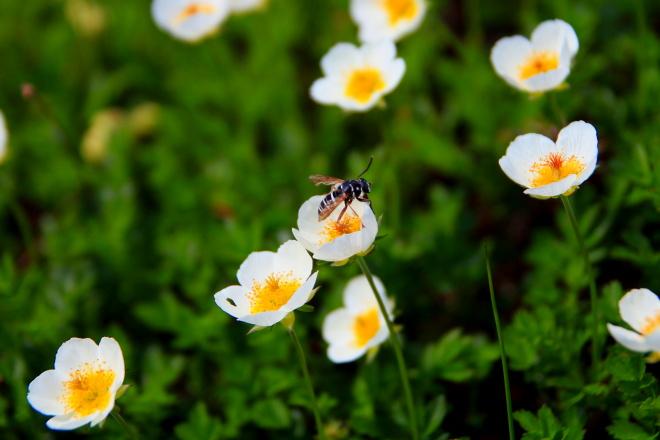 チングルマと蜂