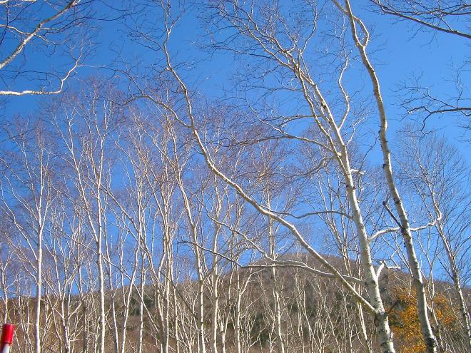 ダケカンバの枝は白い