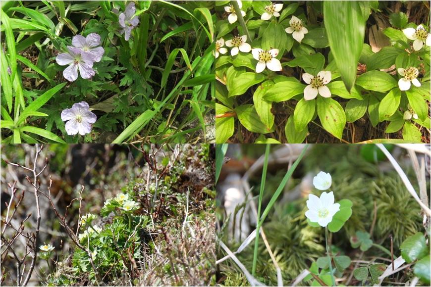 藻琴山の高山植物