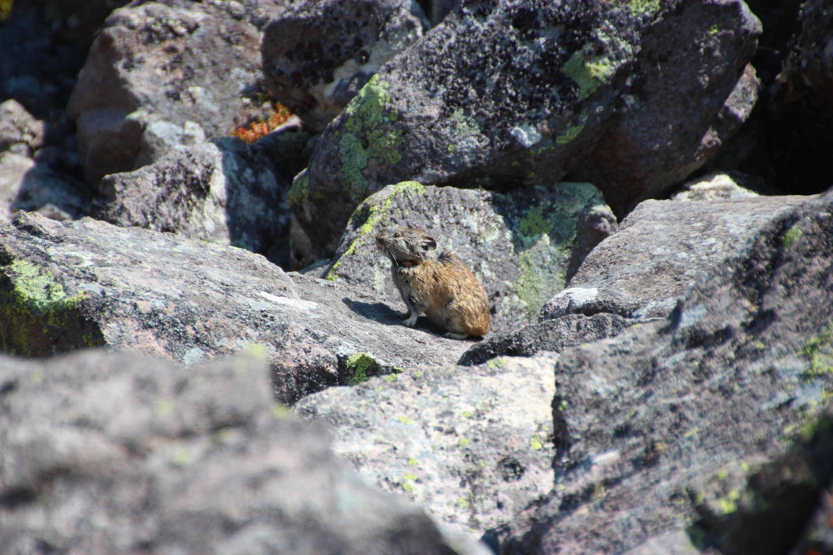 東ヌプカウシヌプリのナキウサギ